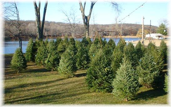 Christmas Trees Phone 973 927 0777